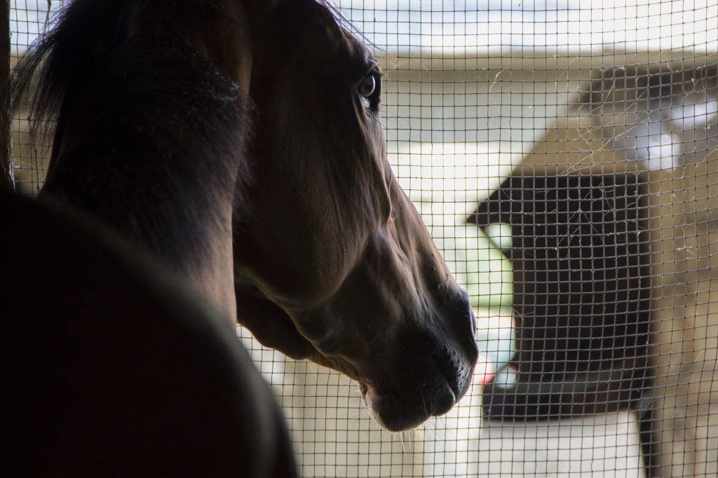Miss Mischief in her stable at Saratoga this summer. Photo courtesy Katie Bo Williams.