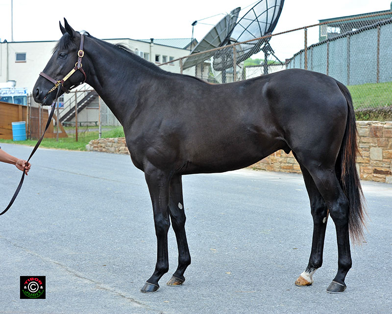 Hip 468, a colt consigned by Bo Hunt, went in 11.2. Scat Daddy - Sevruga, by Jade Hunter.