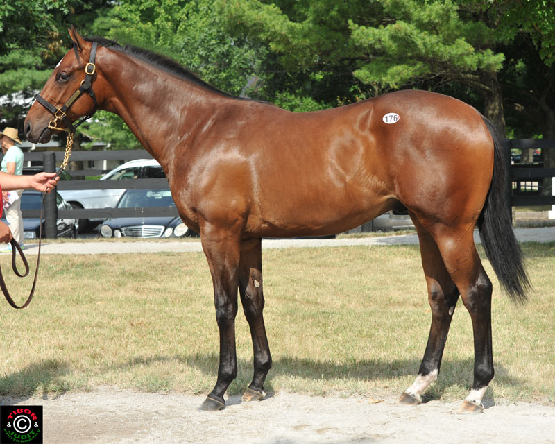 Hip 176. Colt by Summer Bird out of Hawaiian Love. Bred by Mrs. Oliver C. Iselin, III. Consigned by Eaton Sales.