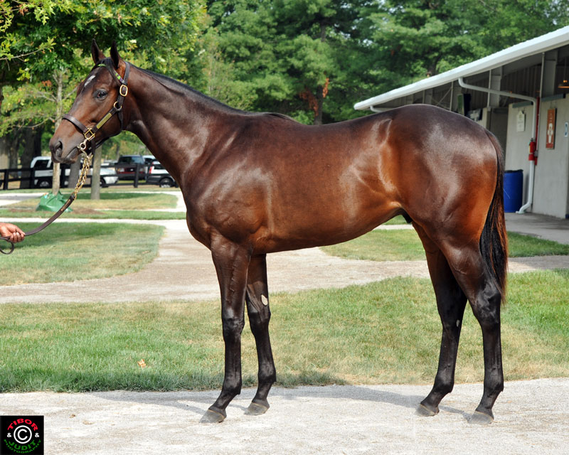 Hip 24. Colt by Haynesfield out of Shawnee Country. Bred and consigned by Morgan's Ford Farm, Susie and Wayne Chatfield-Taylor.