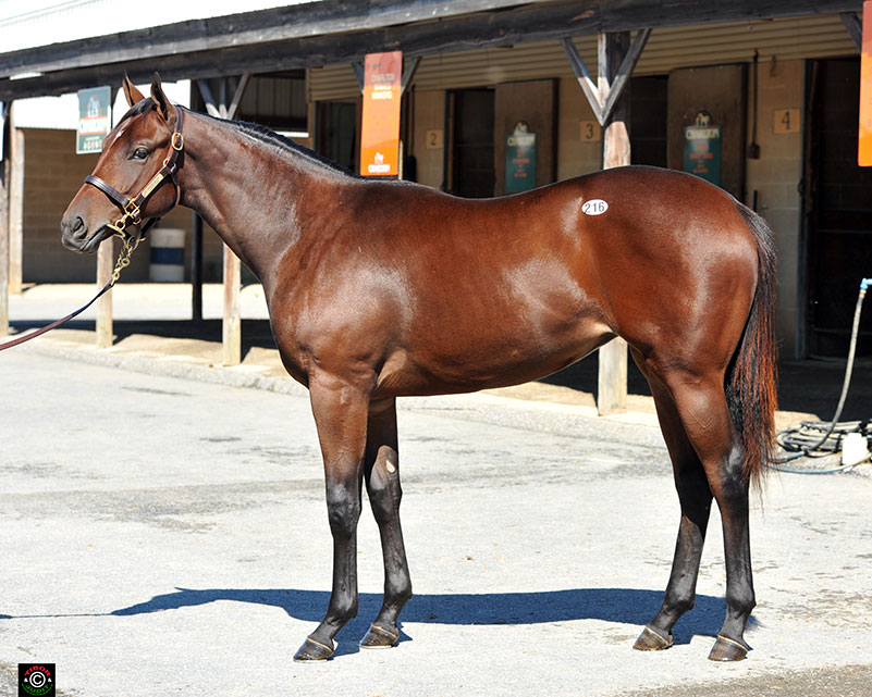 Hip 216, Drosselmeyer filly bought by Hillwood Stable for $53,000. Bred by Audley Farm Equine.