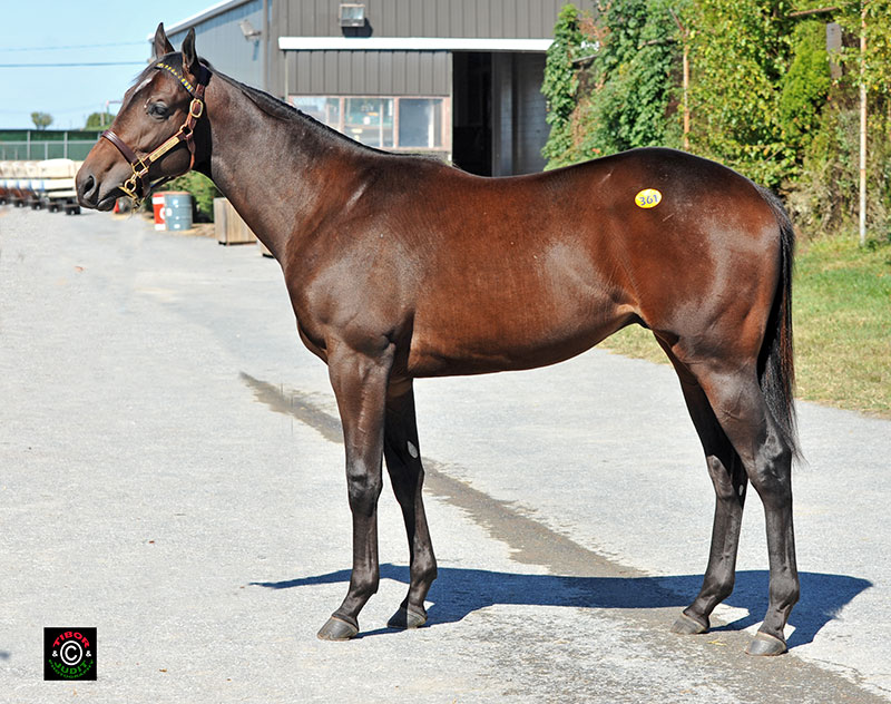 Hip 361, Haynesfield colt bought by Eric Dattner for $75,000. Sold by Allied Bloodstock, Agent.