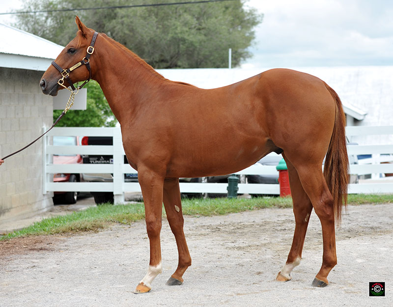 Hip 1239 - Congrats colt out of Night Breeze, Brookdale Agent for Lazy Lane Farms, LLC. RNA for $45,000.