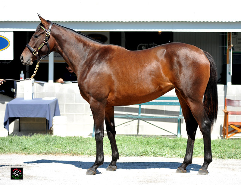 1736 - Elusive Quality filly out of Skipstone, bred by Morgan's Ford Farm. Bought by Morgan's Ford Farm for $50,000.