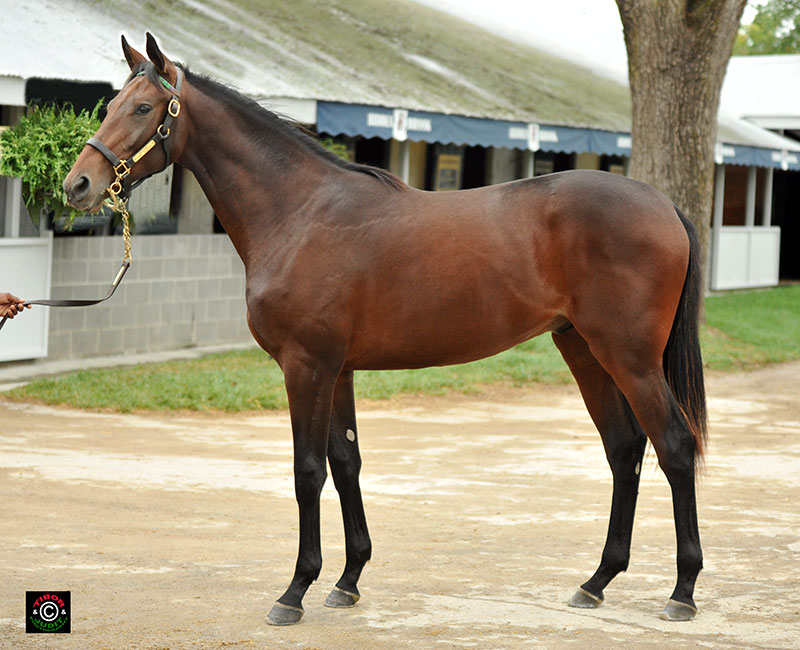 Hip 2555 - Birdstone colt out of Thor's Daughter, owned/bred by Morgan's Ford Farm.