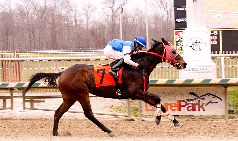 Standing Point, bred by Diane Manning, winning his third lifetime start at Laurel on Dec. 5.