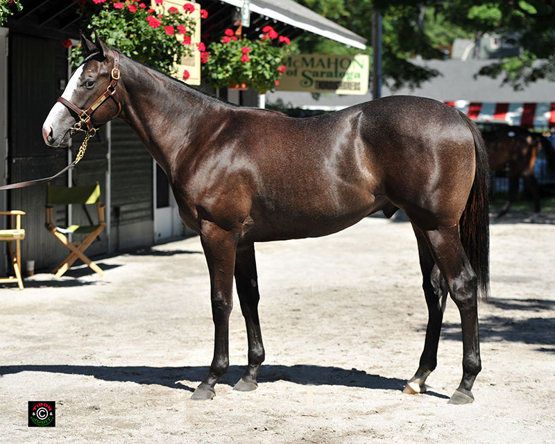 Hip 81, Audley Farm's Bodemeister (himself bred by Audley) colt out of Exceptionally. A half brother to Hooligan, winner of last year's Jamestown Stakes.
