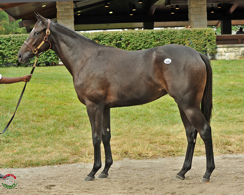 Hif #2151: a Street Sense filly out of Miss Spinks bred by Chilly Bleak Farm. She sold previously at Keeneland January for $100,000.