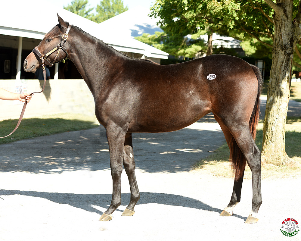 Hip # 3363 a filly by Morning Line out of Mammal of Action Bred by Picturesque Farm