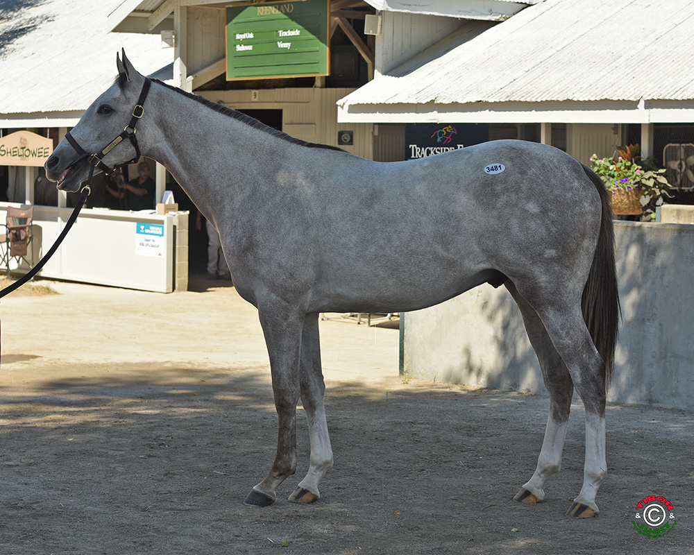 Hip #3481, a gray colt by Dunkirk out of $596,824 winner Silver Heart Bred by Nancy Terhune & Ernest Frohboese