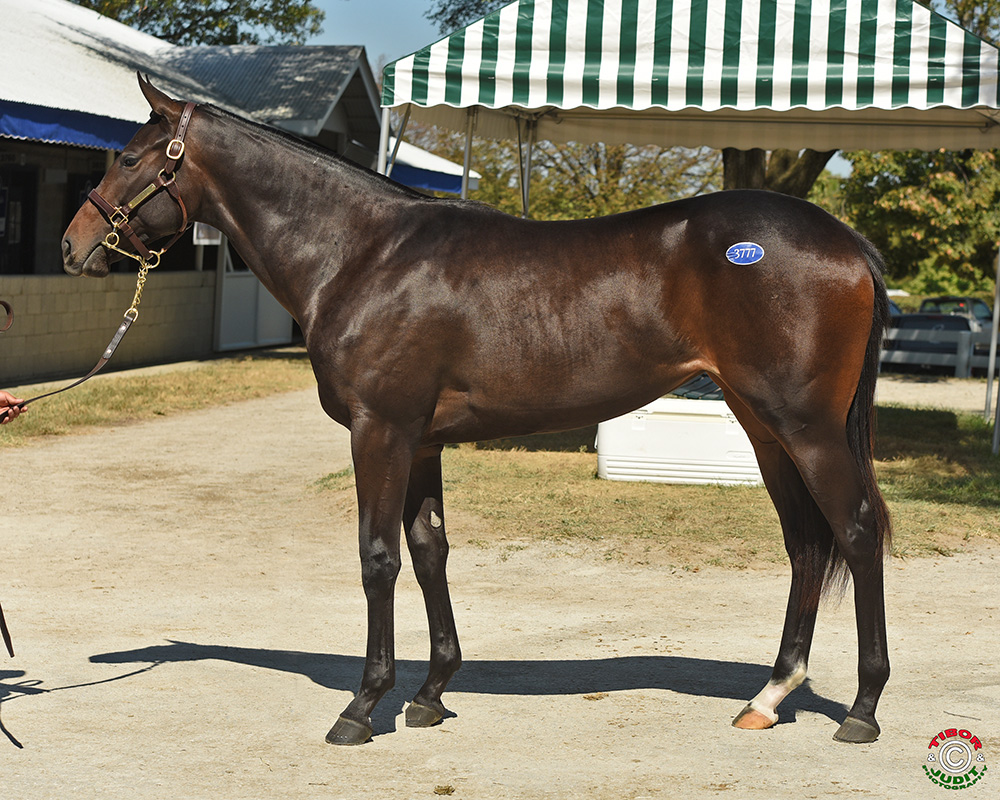 Hip # 3777, Audley Farm Equine, LLC's Eskendereya filly out of Midtown Miss