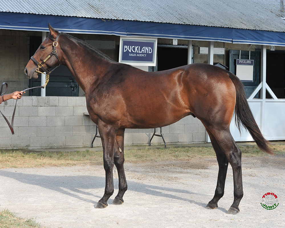 Hip # 1850: a Shackleford colt out of Skipstone bred by Morgan's Ford Farm