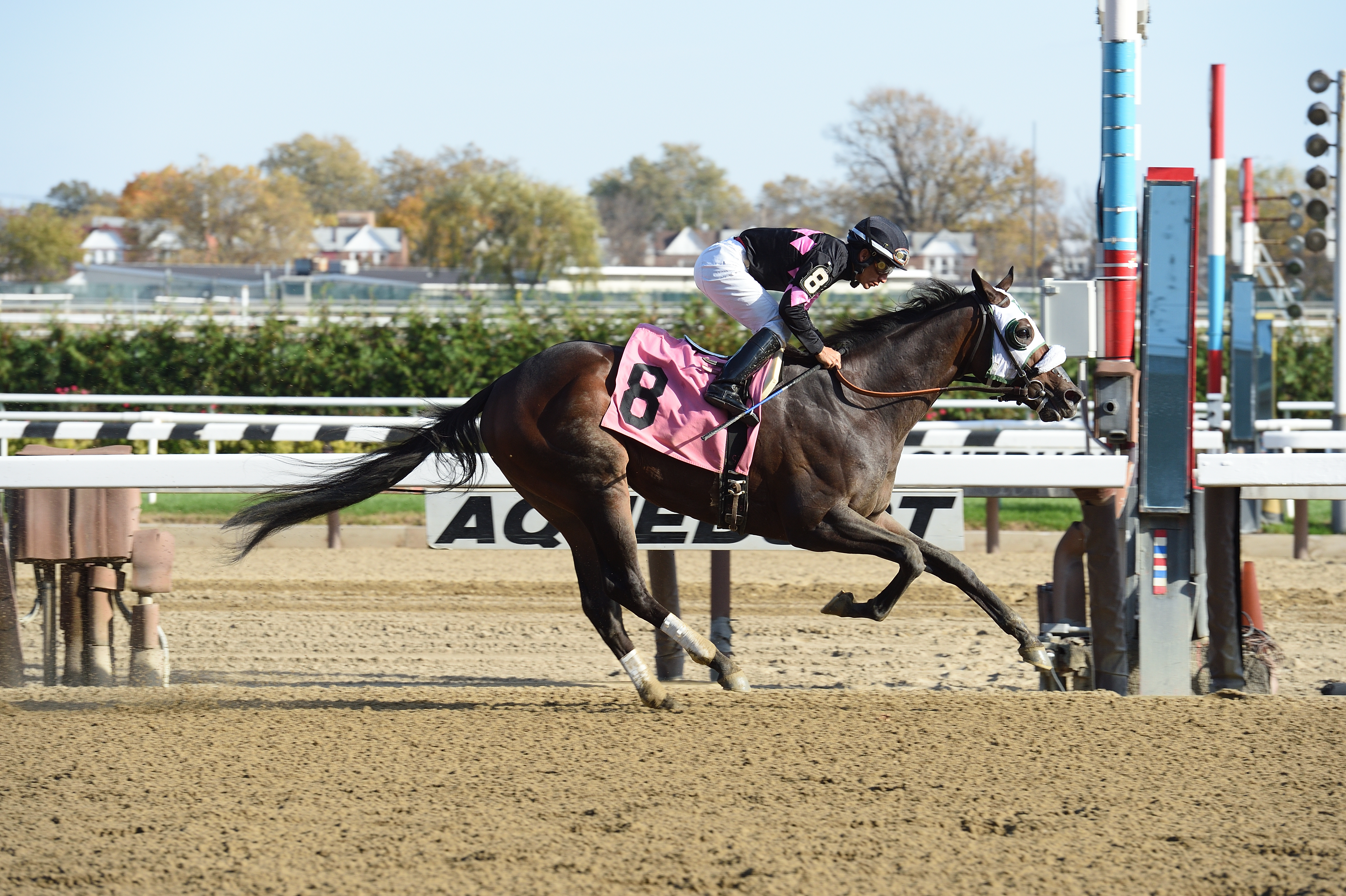 Realm, bred by the Morgan's Ford Farm, won a $67,000 allowance race November 5th at Aqueduct. Picture by Coglianese Photography.